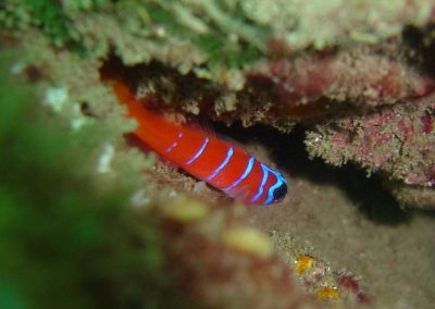 cal03goby